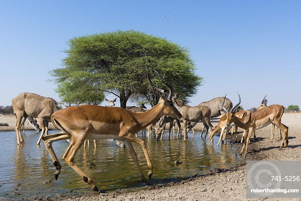 Remote camera image of greater kudus (Tragelaphus strepsiceros) and impalas (Aepyceros melampus) at waterhole, Botswana, Africa