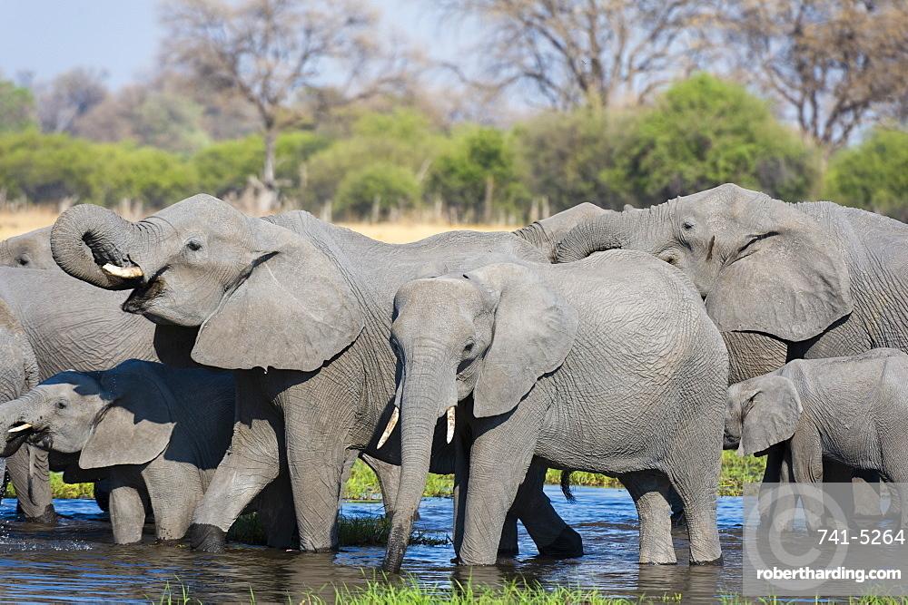 African elephants (Loxodonta africana) drinking in the River Khwai, Botswana, Africa