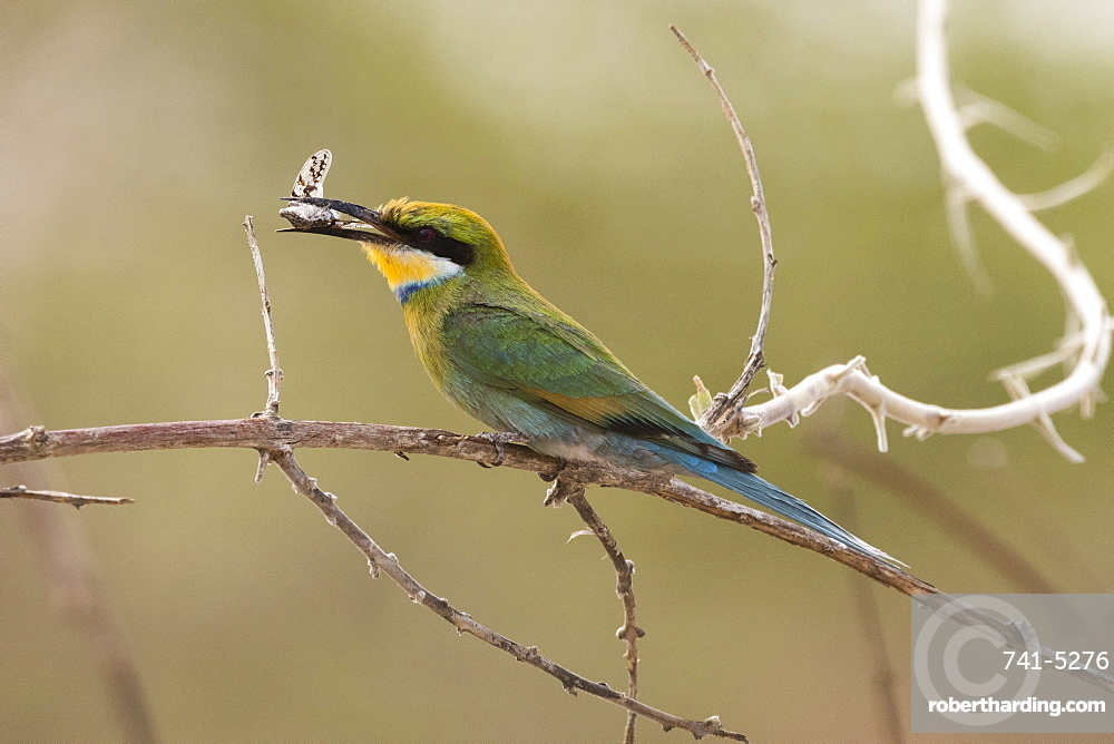 A little bee-eater (Merops pusillus) holding a cicada in its beack, Savuti, Chobe National Park, Botswana, Africa