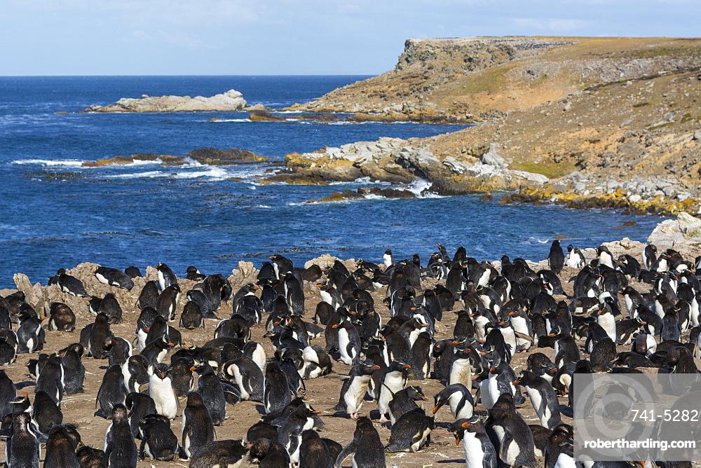 Rockhopper penguin colony (Eudyptes chrysocome), Falkland Islands, South America