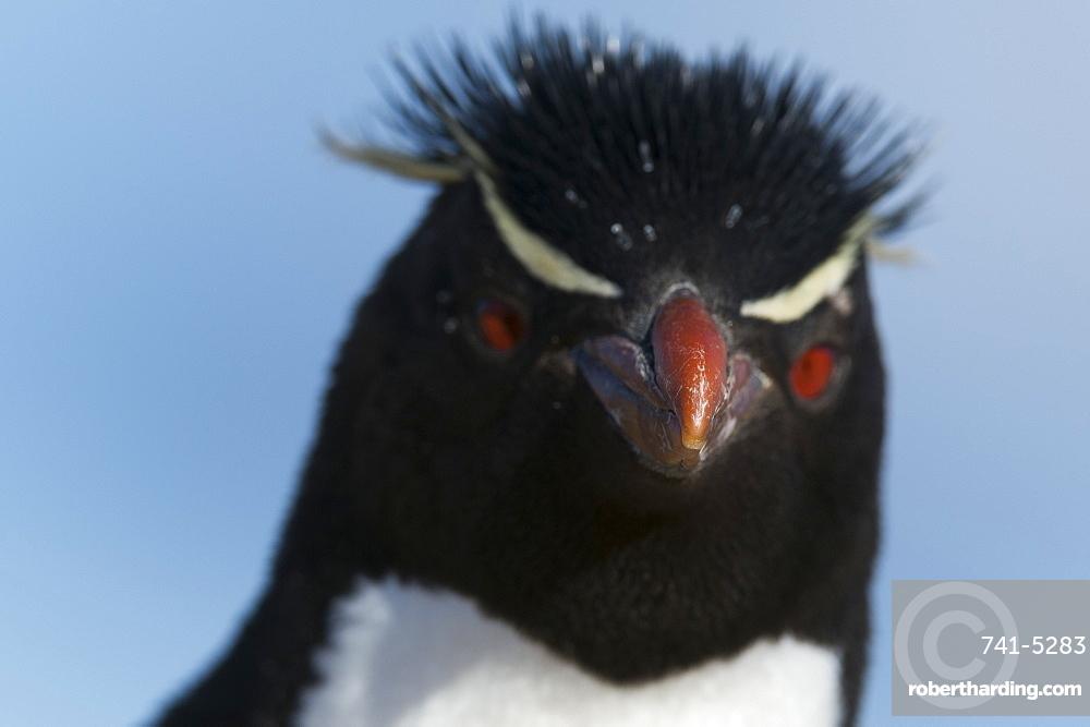 Close up portrait of a rockhopper penguin (Eudyptes chrysocome), Falkland Islands, South America