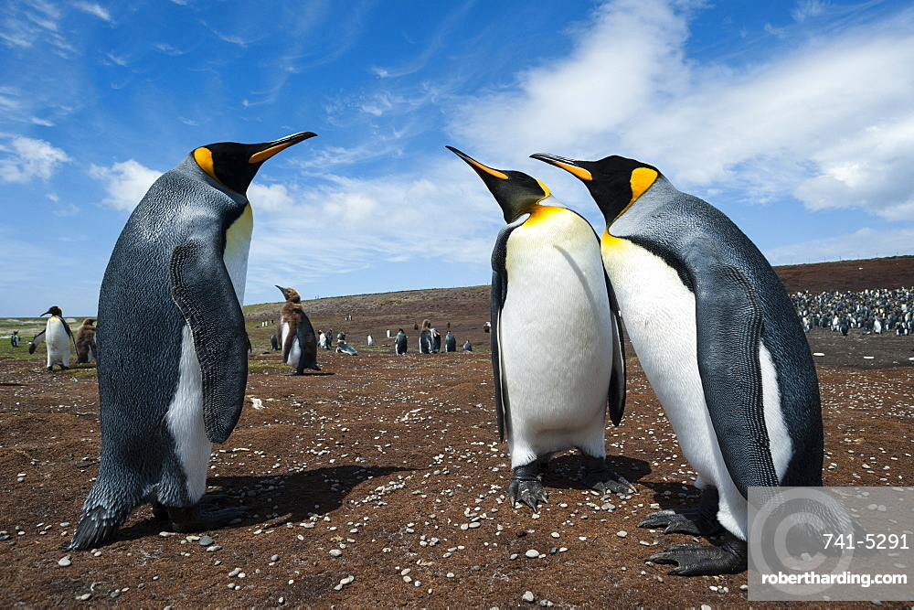 King penguins (Aptenodytes patagonica) fighting, Falkland Islands, South America