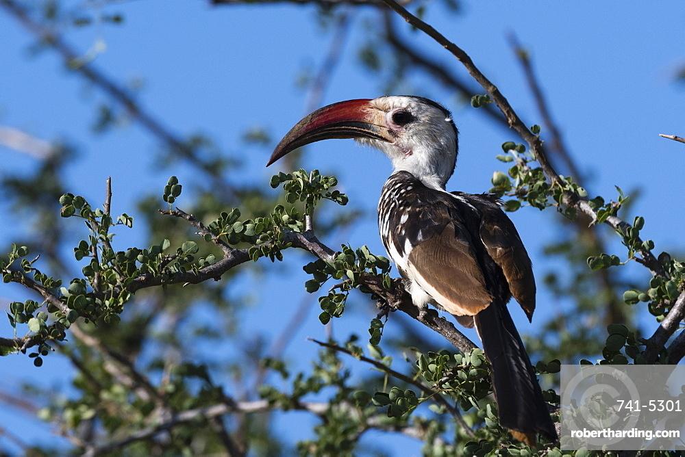 A red-billed hornbill (Tockus erythrorhynchus) on a tree, Tsavo, Kenya, East Africa, Africa
