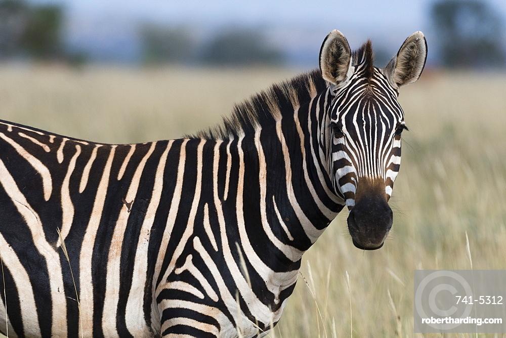 Portrait of a common zebra (Equus quagga) looking at the camera, Tsavo, Kenya, East Africa, Africa