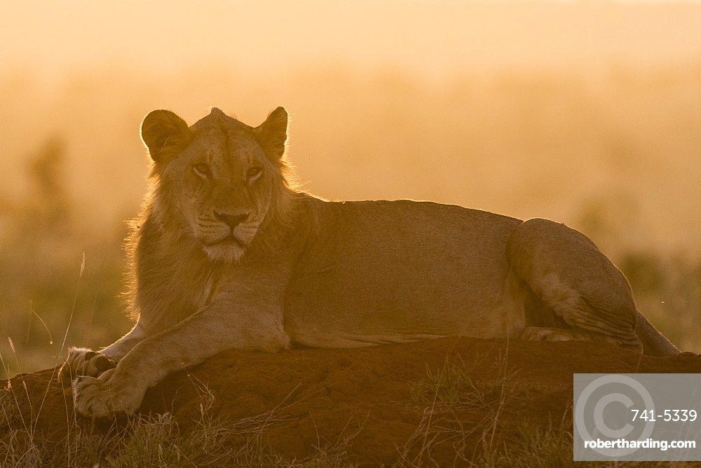 A lion (Panthera leo) resting on a termite mound at sunset, Tsavo, Kenya, East Africa, Africa