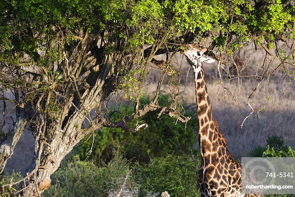 A Maasai giraffe (Giraffa camelopardalis tippelskirchi) feeding on a tree, Kenya, East Africa, Africa