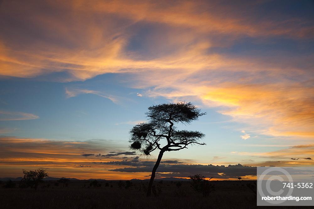 An acacia at sunset, Tsavo, Kenya, East Africa, Africa