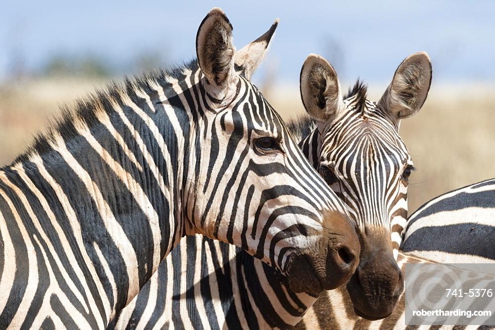 Portrait of two common zebras (Equus quagga), Tsavo, Kenya, East Africa, Africa