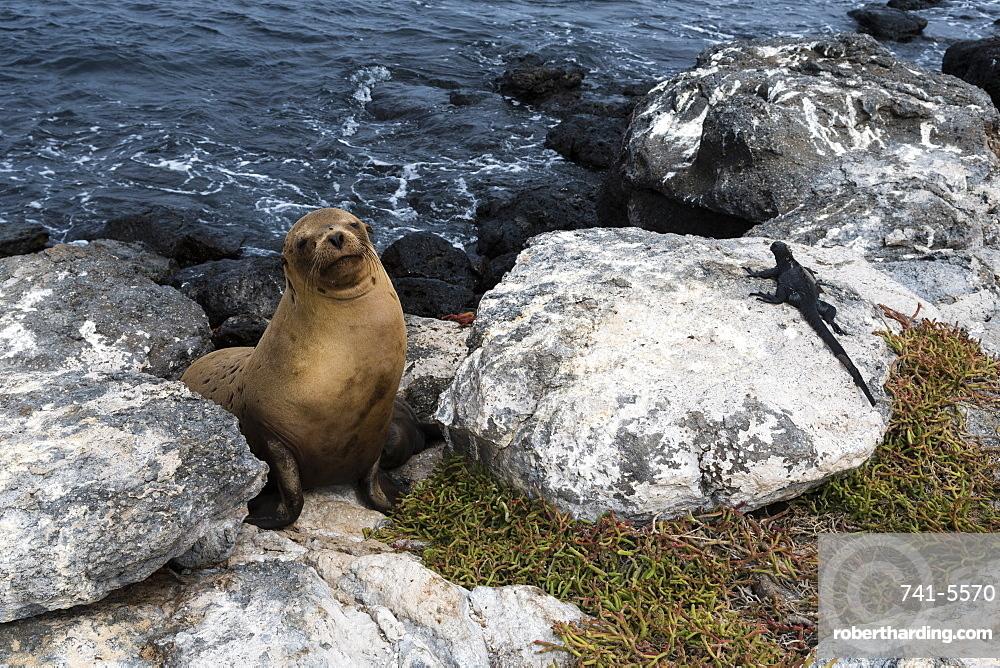 Galapagos sea lion (Zalophus californianus wollebaeki) and marine iguana (Amblyrhynchus cristatu), Galapagos Islands, UNESCO World Heritage Site, Ecuador, South America