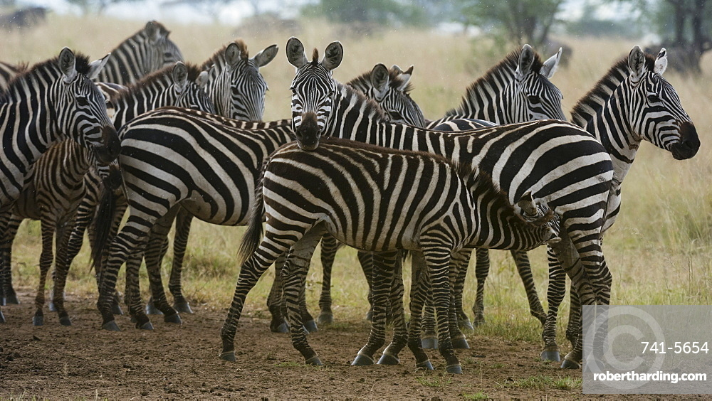 Plains zebras (Equus quagga) under the rain, Seronera, Serengeti National Park, Tanzania, East Africa, Africa