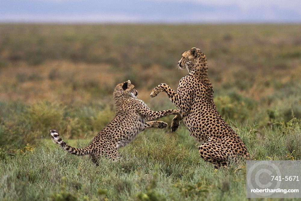 A female cheetah (Acinonyx jubatus) and its cub sparring, Ndutu, Ngorongoro Conservation Area, Serengeti, Tanzania, East Africa, Africa