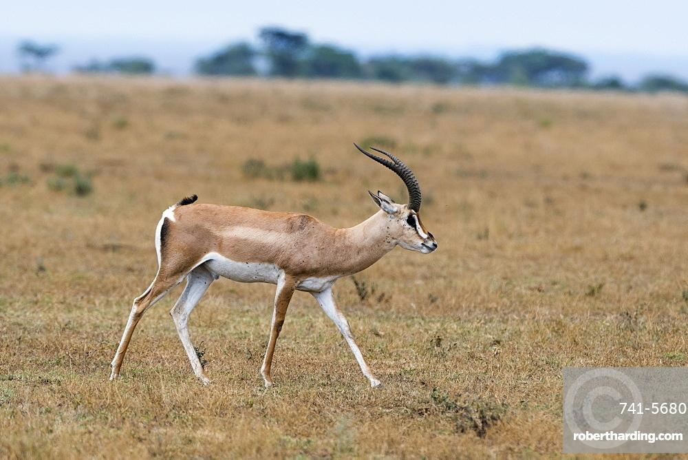 A Grant's gazelle (Nanger granti) walking, Tanzania, East Africa, Africa