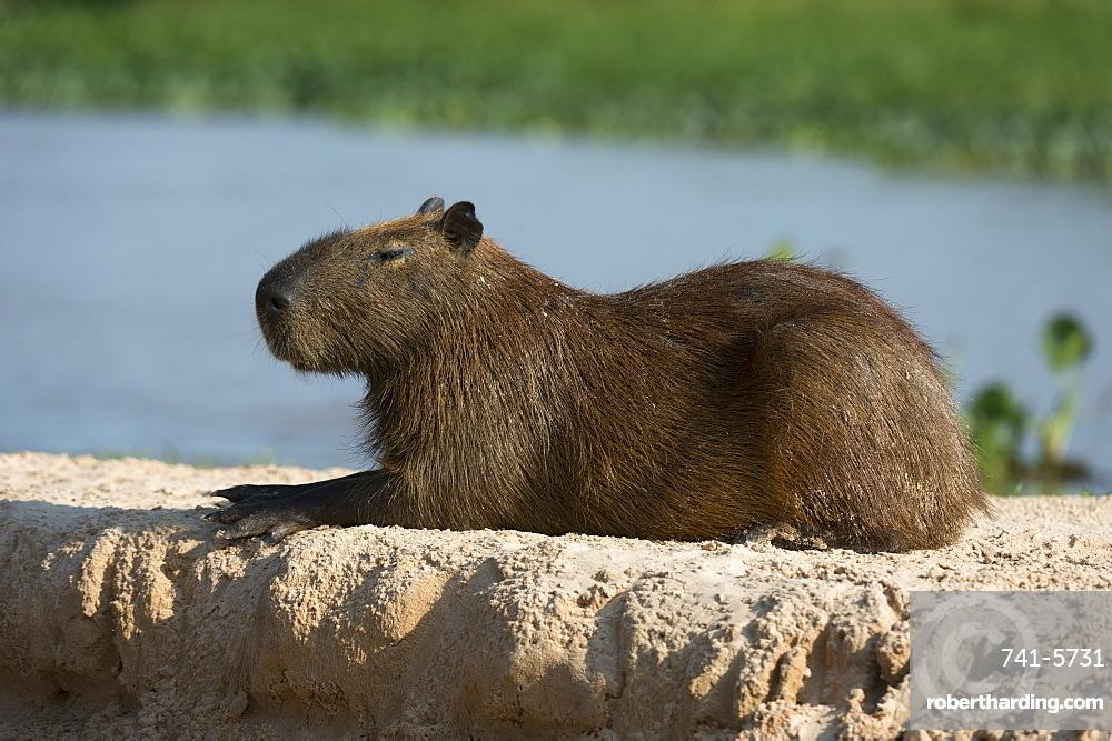 A capybara (Hydrochaerus hydrochaeris) resting, Mato Grosso, Brazil, South America