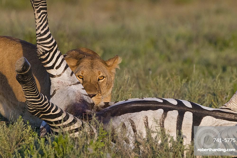 A lioness (Panthera leo) feeding on a common zebra (Equus quagga), Tanzania, East Africa, Africa