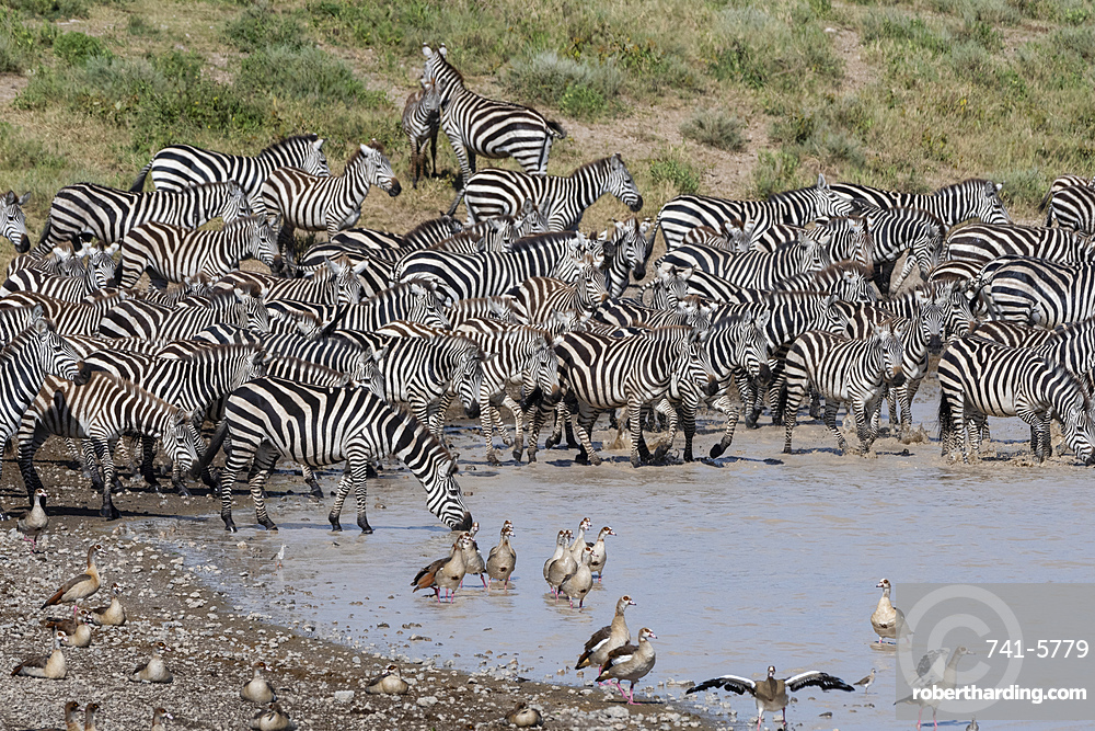 A herd of plains zebras (Equus quagga) drinking at Hidden Valley lake, Tanzania, East Africa, Africa