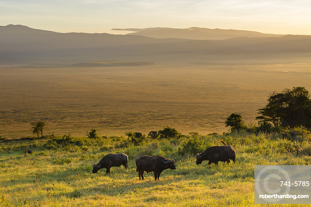 Cape buffalo (Syncerus caffer) grazing in the Ngorongoro Crater, UNESCO World Heritage Site, Tanzania, East Africa, Africa