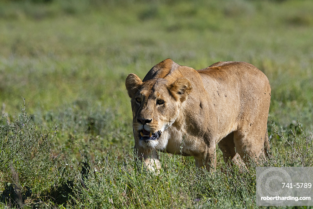 Lioness (Panthera leo), Ngorongoro crater, Ngorongoro Conservation Area, UNESCO World Heritage Site, Tanzania, East Africa, Africa