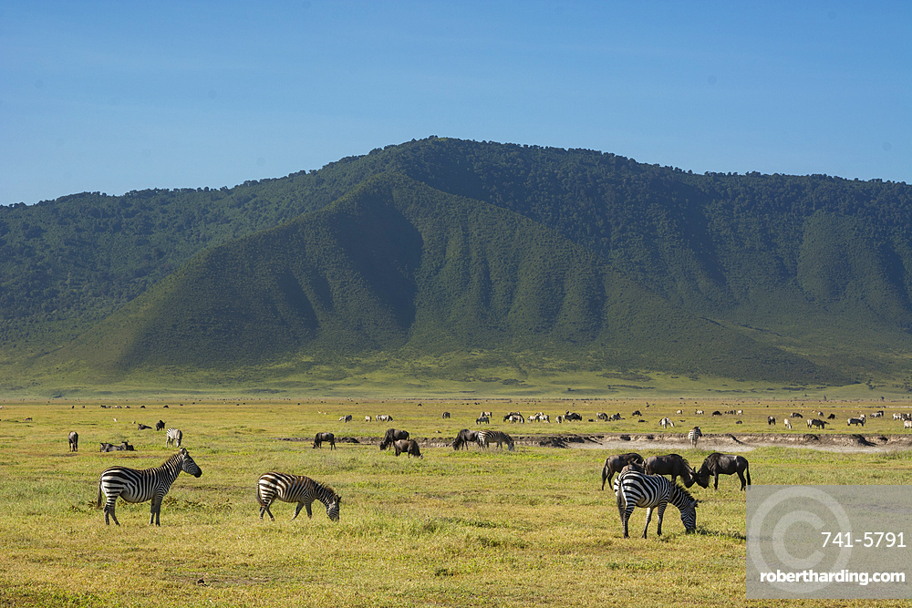 Common zebras (Equus quagga) in the Ngorongoro crater, Ngorongoro Conservation Area, UNESCO World Heritage Site, Tanzania, East Africa, Africa