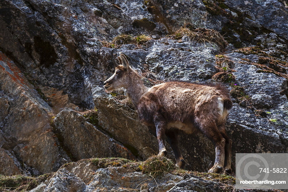 Alpine Chamois (Rupicapra rupicapra), Valsavarenche, Gran Paradiso National Park, Aosta Valley, Italy, Europe