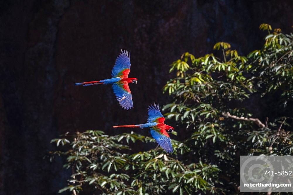 Red-and-green macaw (Ara chloropterus), Mato Grosso do Sul, Brazil, South America