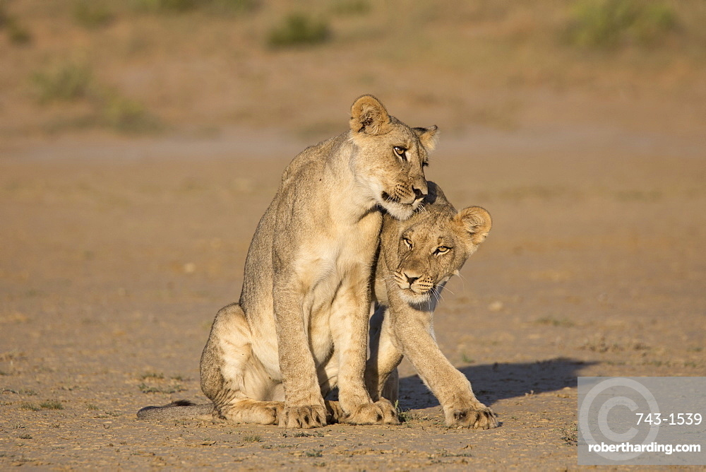 Young lions (Panthera leo), Kgalagadi Transfrontier Park, Northern Cape, South Africa, Africa