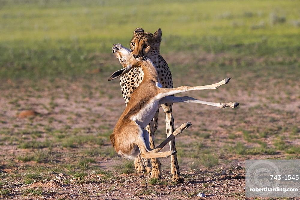 Cheetah (Acinonyx jubatus) with springbok calf kill, Kgalagadi Transfrontier Park, Northern Cape, South Africa, Africa