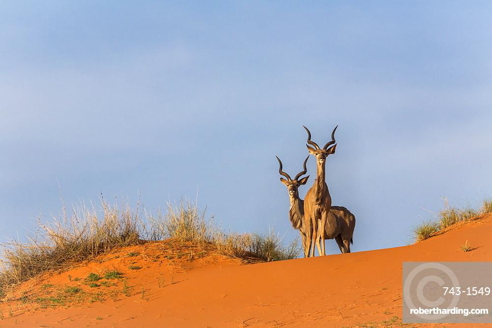 Greater kudu (Tragelaphus strepsiceros) on dunes, Kgalagadi Transfrontier Park, Northern Cape, South Africa, Africa