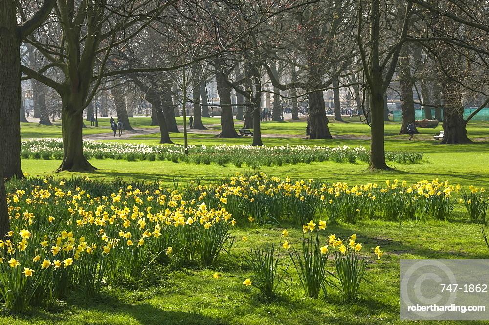 Daffodils, St James Park, London, England, United Kingdom, Europe
