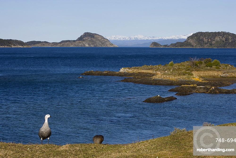 Magellan goose (Chloephaga picta), Ushuaia, Tierra del Fuego, Argentina, South America