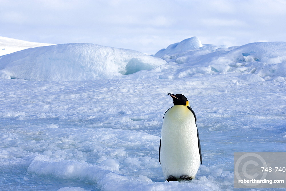 Emperor penguin (Aptenodytes forsteri), Snow Hill Island, Weddell Sea, Antarctica, Polar Regions