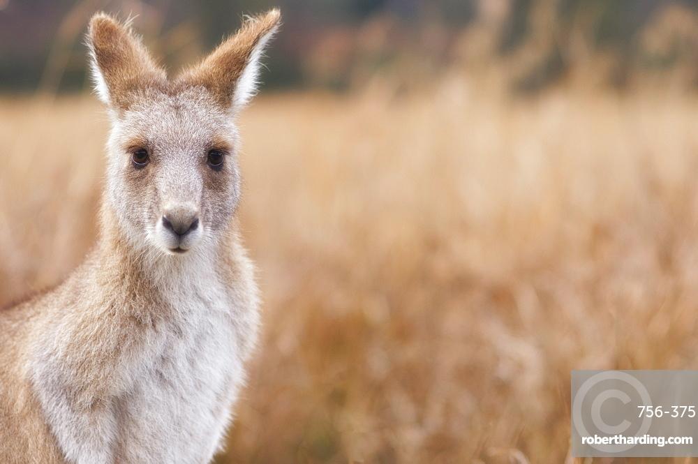 Eastern grey kangaroo, Kosciuszko National Park, New South Wales, Australia, Pacific