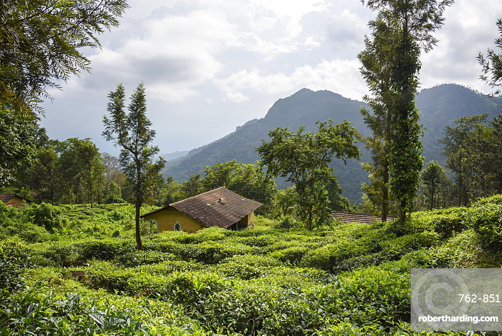 Nilgiri Hills, rainforest and tea plantations, EcoScape, Tamil Nadu, India, South Asia