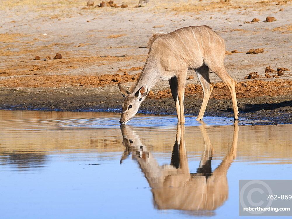 Female Greater Kudu (Tragelaphus strepsiceros), drinking in the Boteti River, Makgadikgadi Pans National Park, Kalahari, Botswana, Africa
