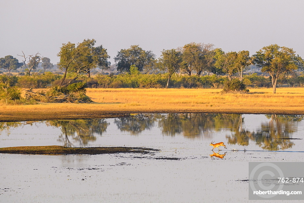Aeiral view of Red Lechwe (Southern Lechwe) (Kobus leche), Okavango Delta, Botswana, Africa
