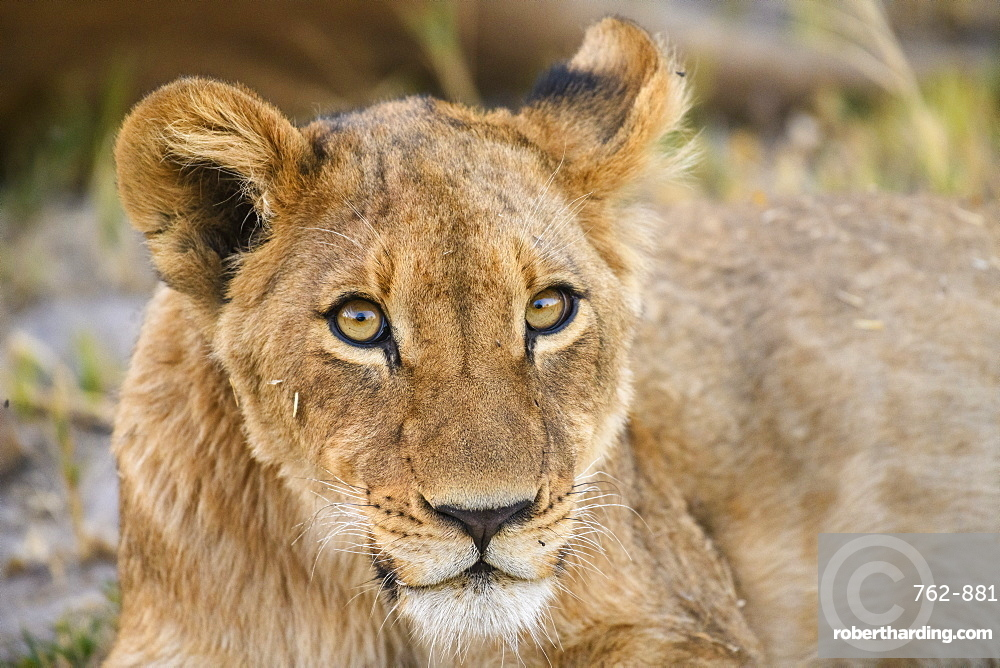 Young Lion cub (Panthera leo), about 6 months old, Khwai Private Reserve, Okavango Delta, Botswana, Africa