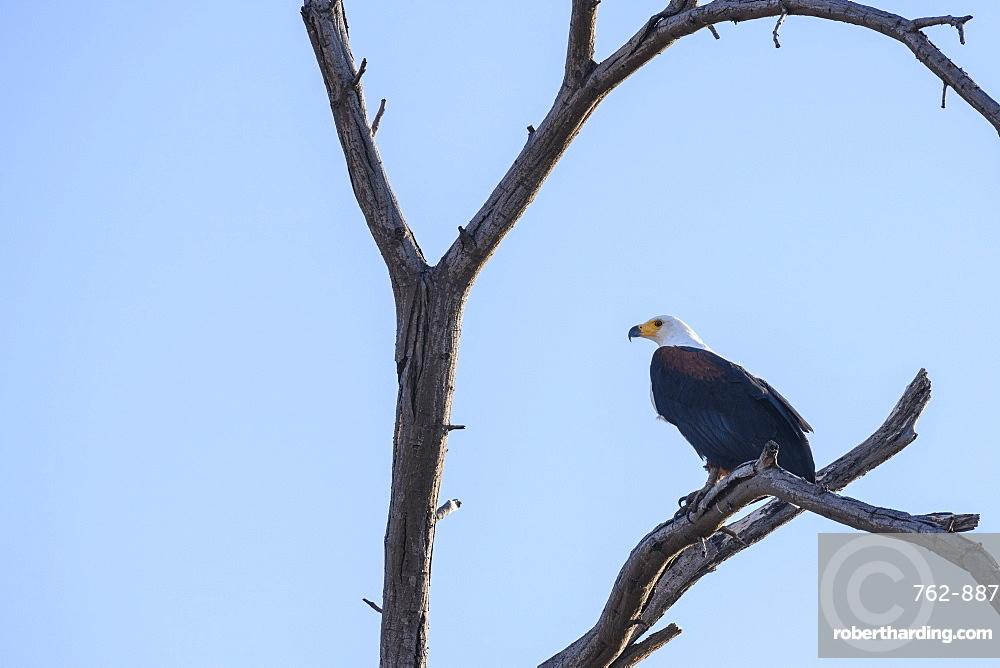 African Fish Eagle (Haliaeetus vocifer) in a tree, Khwai Private Reserve, Okavango Delta, Botswana, Africa