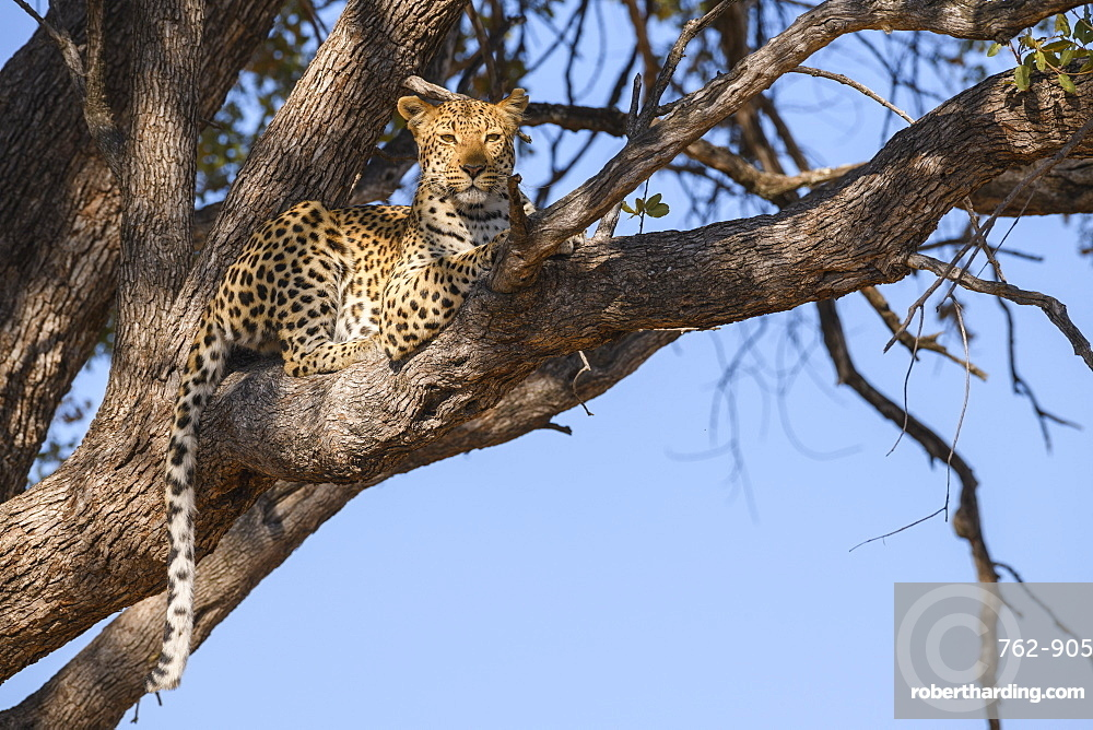 Female Leopard (Panthera pardus) in a tree, Khwai Private Reserve, Okavango Delta, Botswana, Africa