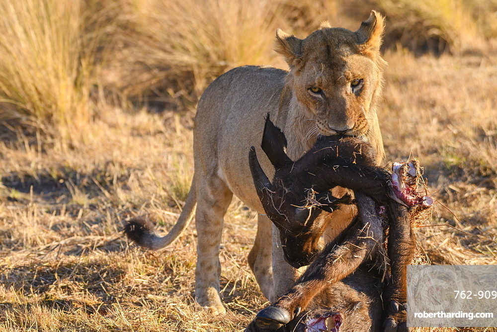 Young male Lion (Panthera leo) with a Buffalo calf carcass, Macatoo, Okavango Delta, Botswana, Africa