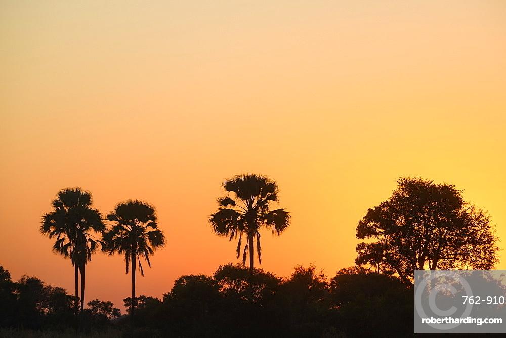 Sunset over palm trees, Macatoo, Okavango Delta, Botswana, Africa