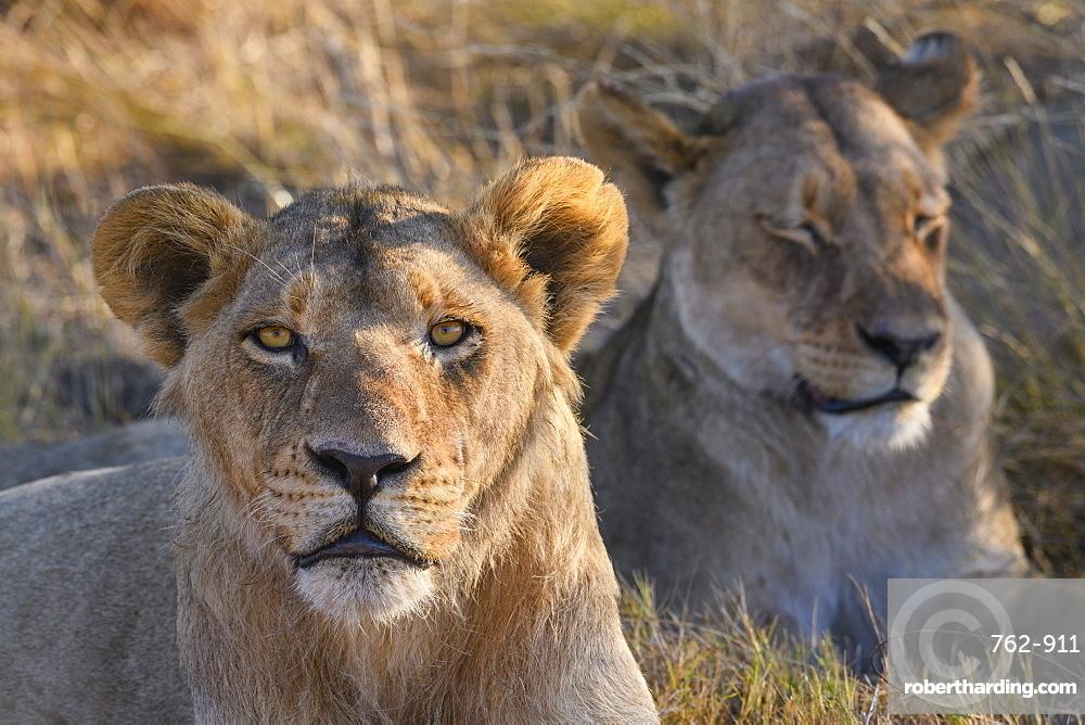 Lion (Panthera leo), Macatoo, Okavango Delta, Botswana, Africa