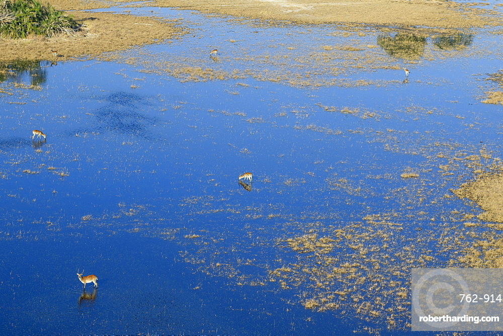Aeiral view of Red Lechwe (Southern Lechwe) (Kobus leche) standing in water, Macatoo, Okavango Delta, Botswana, Africa