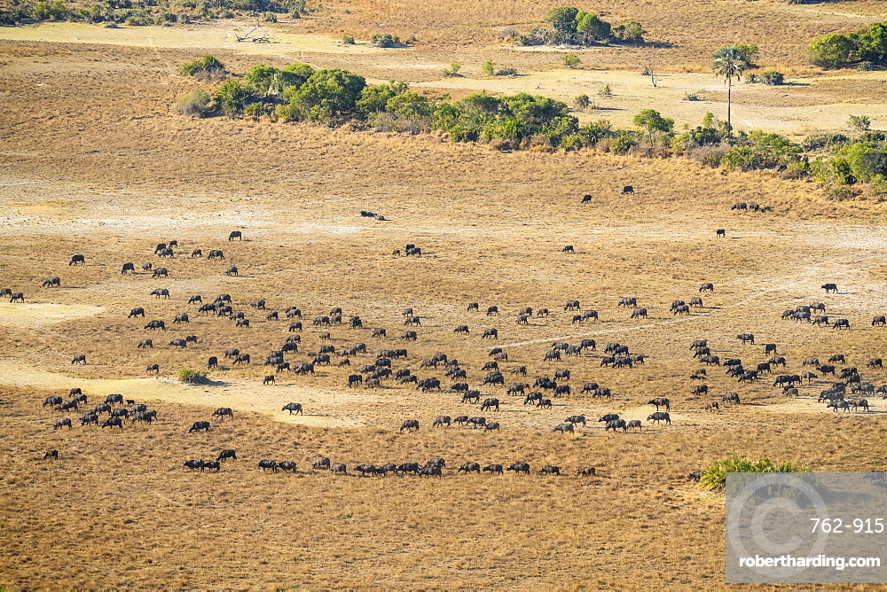 Aerial view of a herd of African buffalo (Cape Buffalo) (Syncerus caffer), Macatoo, Okavango Delta, Botswana, Africa