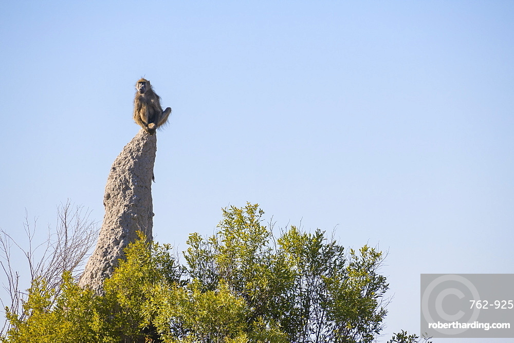 Chacma Baboon (Papio ursinus) on lookout duty sitting on a termite mound, Macatoo, Okavango Delta, Botswana, Africa