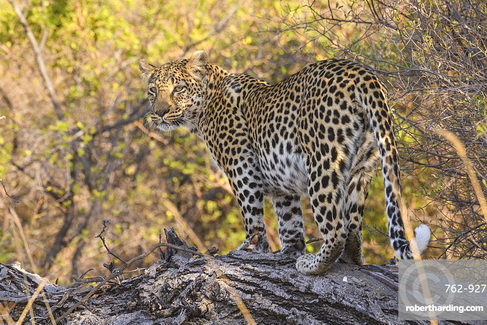 Leopard (Panthera pardus), Khwai Private Reserve, Okavango Delta, Botswana, Africa