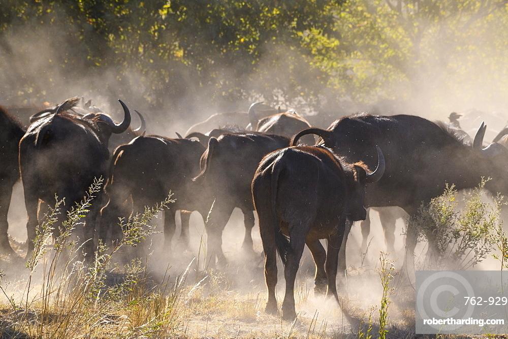 African buffalo (Cape Buffalo) (Syncerus caffer), Bushman Plains, Okavango Delta, Botswana, Africa