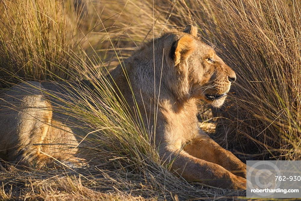 Young Male Lion (Panthera leo), Macatoo, Okavango Delta, Botswana, Africa