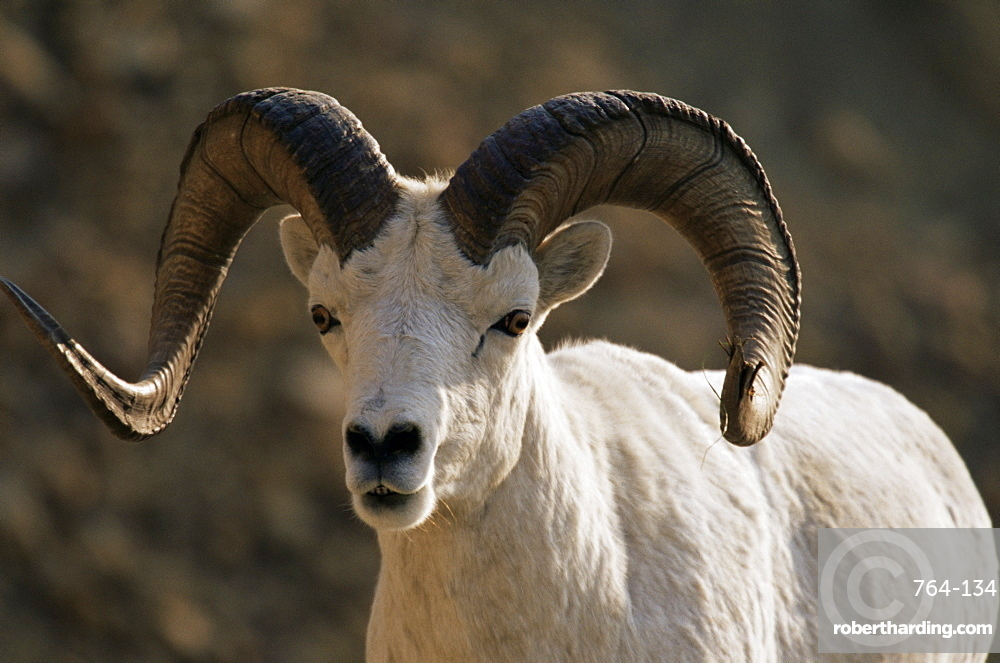 Male dall sheep (Ovis dalli), Denali National Park, Alaska, United States of America, North America