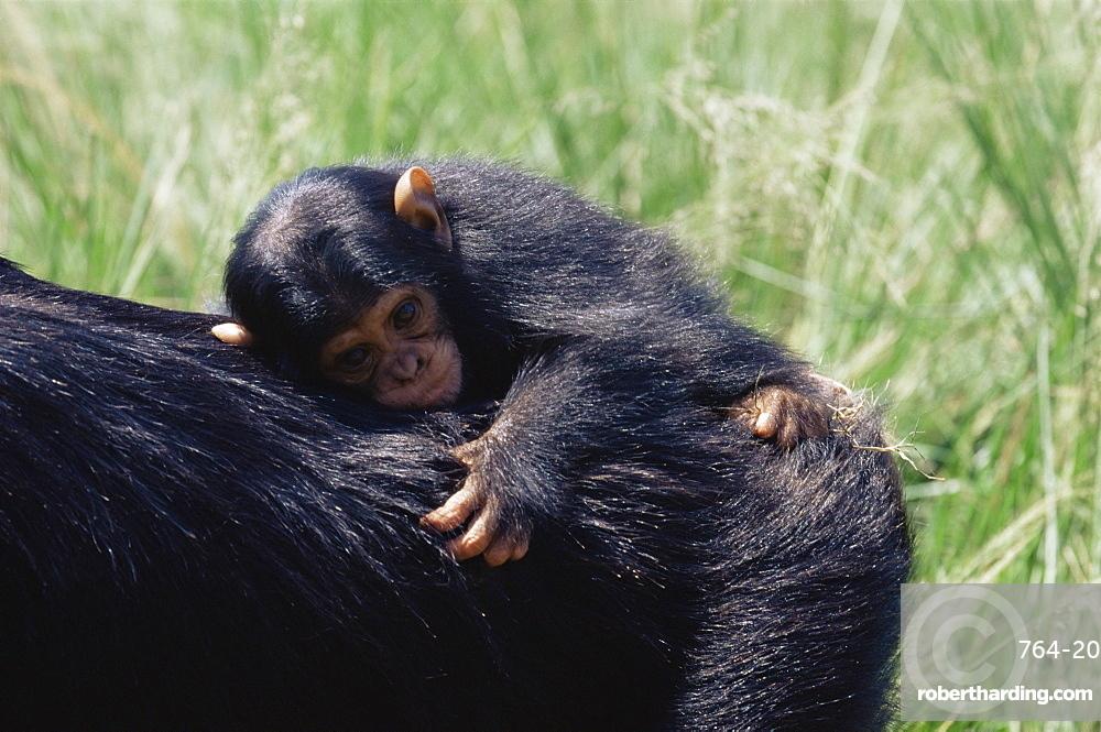 Chimpanzee (Pan troglodytes) infant in captivity, Uganda Wildlife Education Centre, Ngamba Island, Uganda, East Africa, Africa