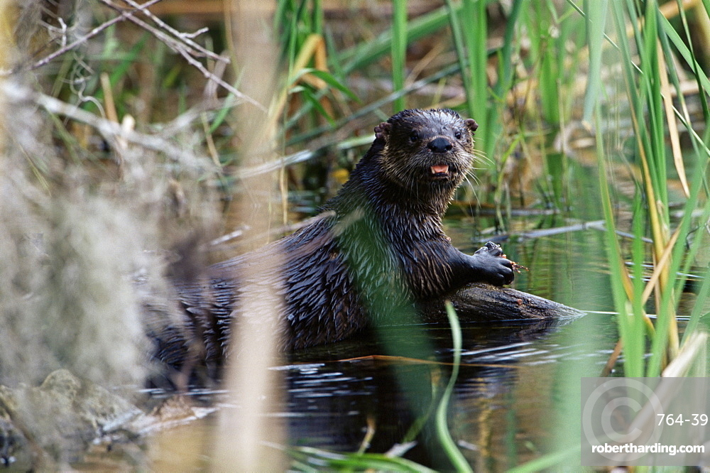 River otter (Lutra canadensis), Big Cypress Nature Preserve, Florida, United States of America, North America