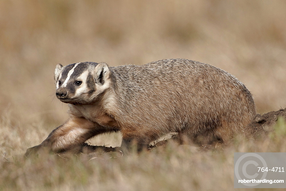 Badger (Taxidea taxus) digging, Custer State Park, South Dakota, United States of America, North America